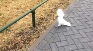 Confident cockatoo tests her balancing skills