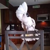 Cockatoo is the biggest Whitney Houston fan