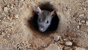 'Cat-sized' rats taking over New Zealand town