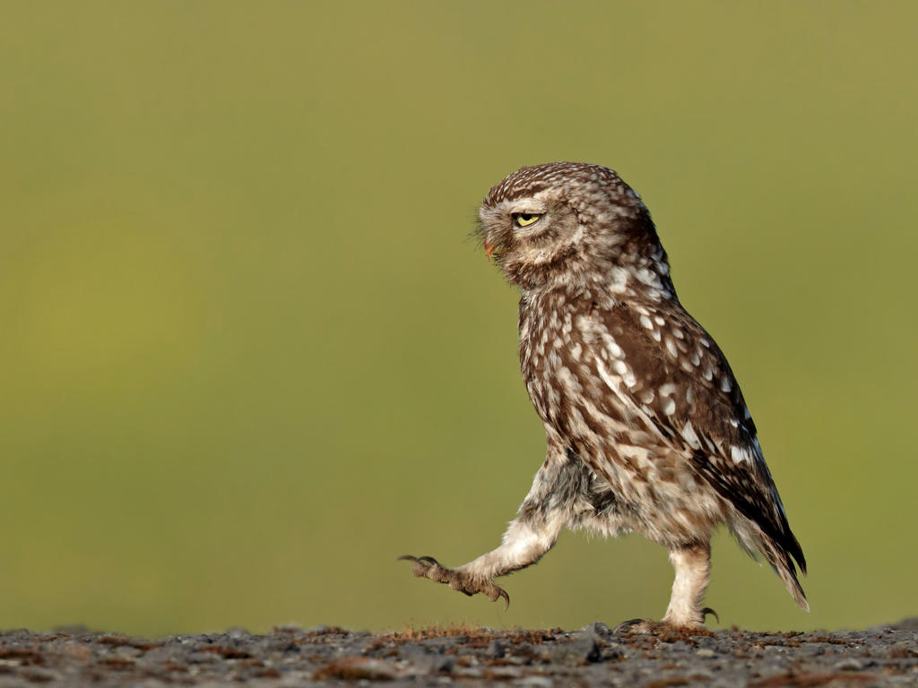 Slide 28 of 70: A wild owl appears to be marching in a very serious manner on June 11, 2011 in Lancashire, England.