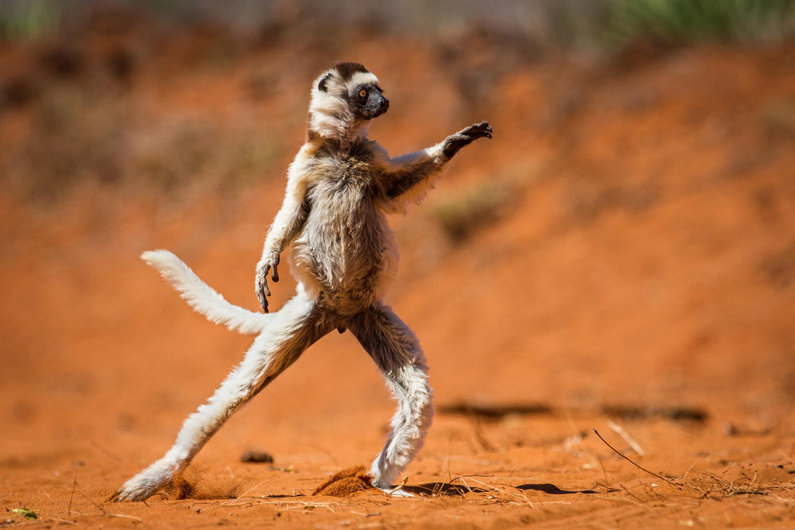 Slide 6 of 70: Alison Buttigleg's photo of a monkey channeling his inner John Travlota was highly commended at last year's awards on October 06, 2013.