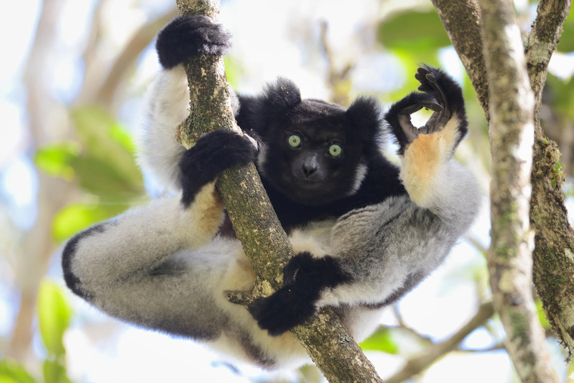 Slide 14 of 70: An Indri flashes the A-OK sign in Yamamoto Tsuneo's 'I'm OK', on July 25, 2012 in Analamazaotra Special Reserve, Madagascar.