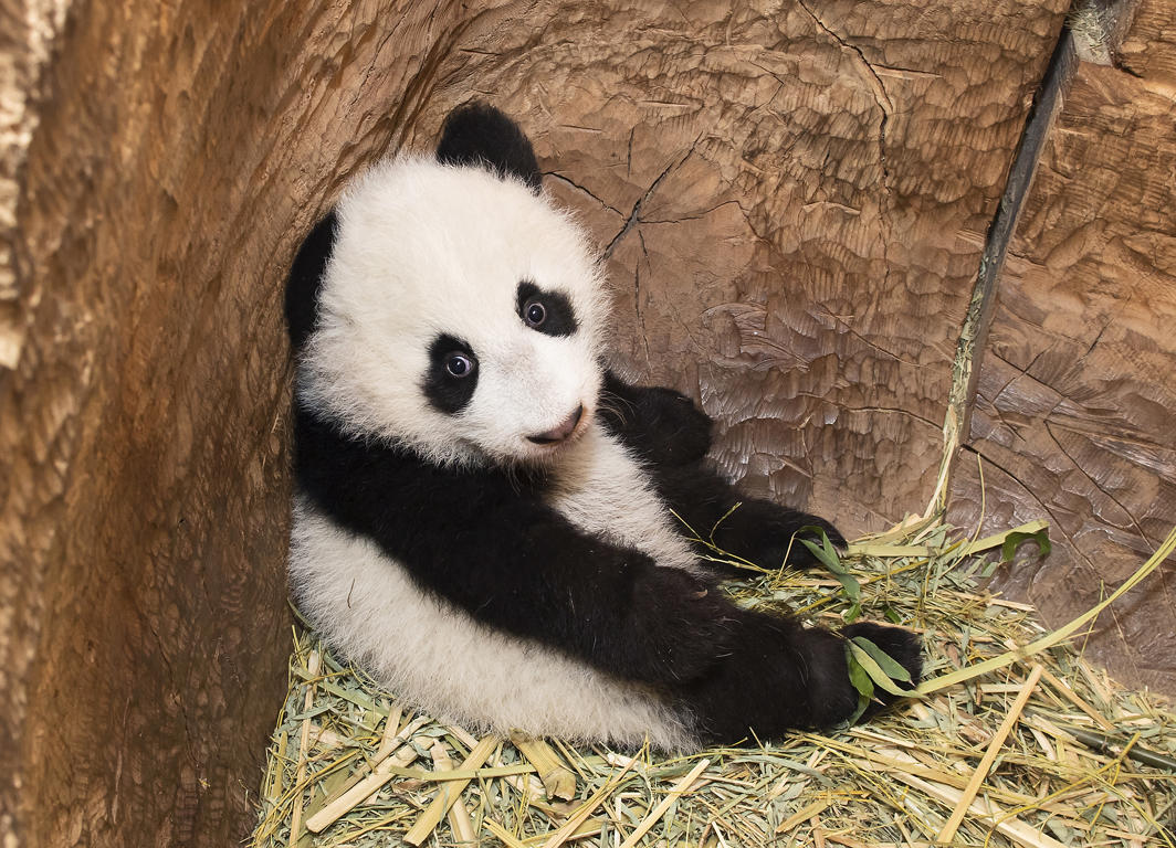 Slide 23 of 70: Five month old panda in Schönbrunn Zoo on 5 January, 2017 in Vienna, Austria.