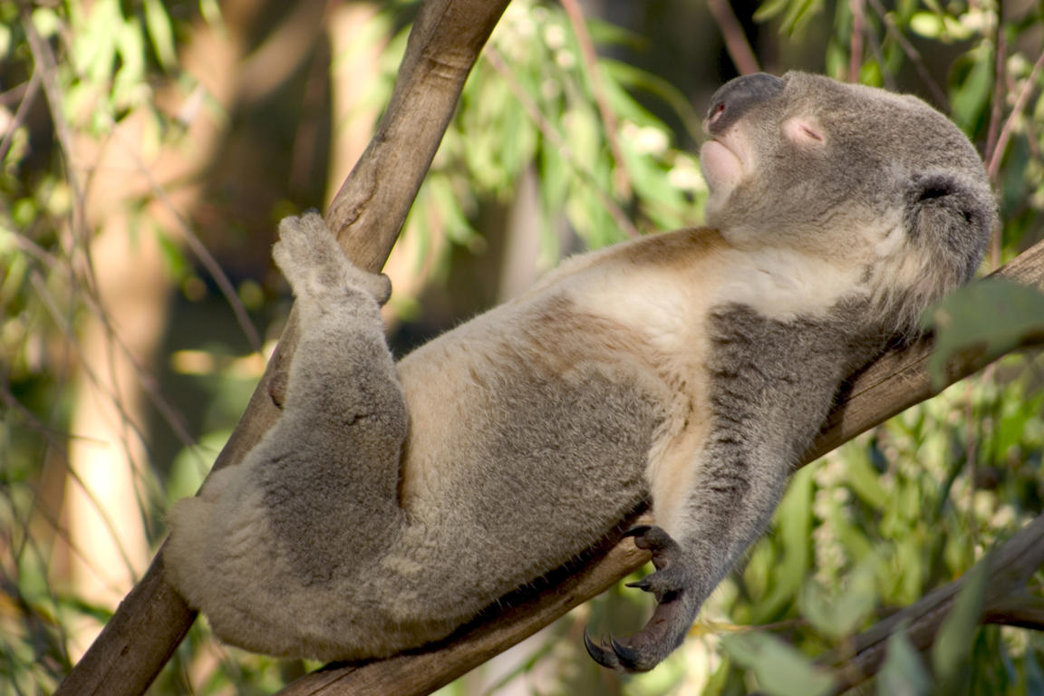 Slide 4 of 70: Koala sunbathing