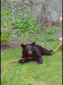 Naughty bear cub plays with garden hose