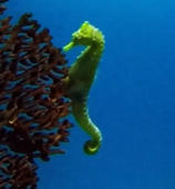 Seahorses glide gracefully among ocean coral