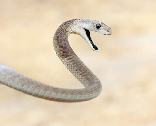 Great snakes: two-headed serpent spotted in Bali