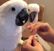 Cockatoos love getting manicures!