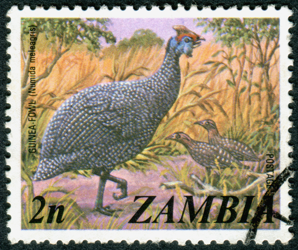 Slide 59 of 70: ZAMBIA - CIRCA 1975: A stamp printed in Zambia, shows the bird Helmeted guineafowl (Numida meleagris), circa 1975