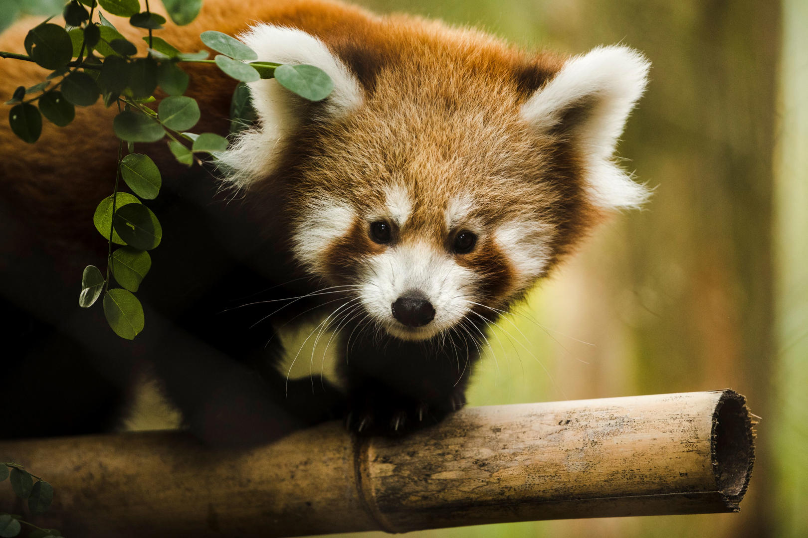 Слайд 1 из 69: One of two young red panda cubs born at the Philadelphia Zoo makes its debut, in Philadelphia, Thursday, Oct. 26, 2017. Red pandas are considered endangered in the wild and are native to the mountains of central China, Nepal and northern Myanmar. (AP Photo/Matt Rourke)