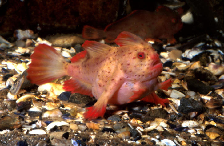The red handfish grow to about four inches in length.