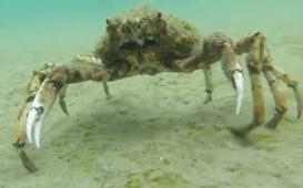 Super-creepy spider crab chases camera — can you handle the horror?