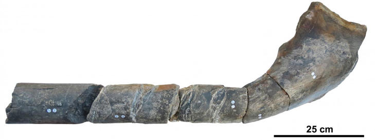 The jawbone of the giant ichthyosaur.