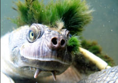 'Punk' turtle enters endangered species list