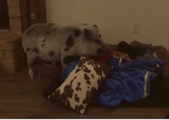 This cute pig makes its own bed