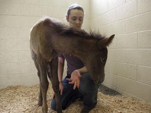 In this Thursday, May 3, 2018 photo,Erin Hisrich, owner of Aspen Veterinary Clinic in Flagstaff, Ariz., plays with a foal that nearly died from dehydration. A couple of miles off the highway through northern Arizona is one of the most stark examples of the toll drought has taken on the region: more than 100 dead horses surrounding by cracked dirt, swirling dust and a ribbon of water that couldn't quench their thirst. Officials on the Navajo Nation are working to cover the site with lime to help the animals decompose and keep away scavengers.