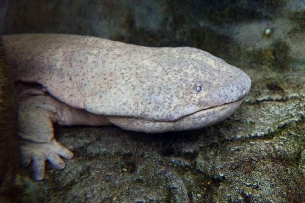 Slide 3 of 38: Chinese giant salamander