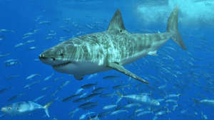 a fish swimming under water: An adult great white shark has 300 serrated teeth up to two inches long.
