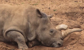 Science could save northern White Rhino from extinction