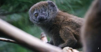 Baby Lemur thrives despite losing eye in life-saving surgery