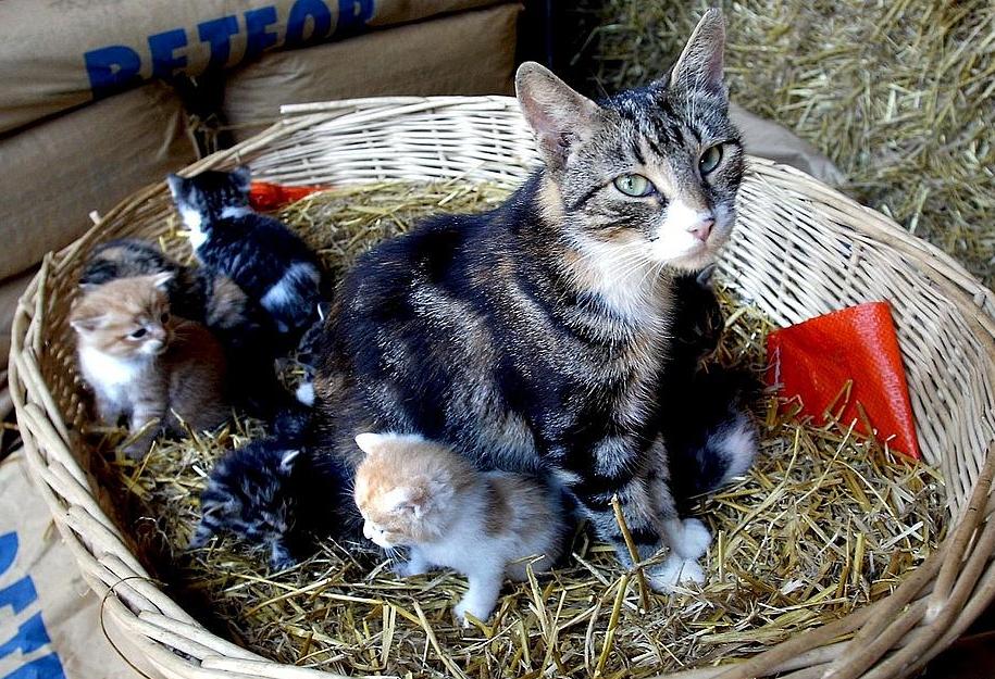 hur länge är en katt gravid