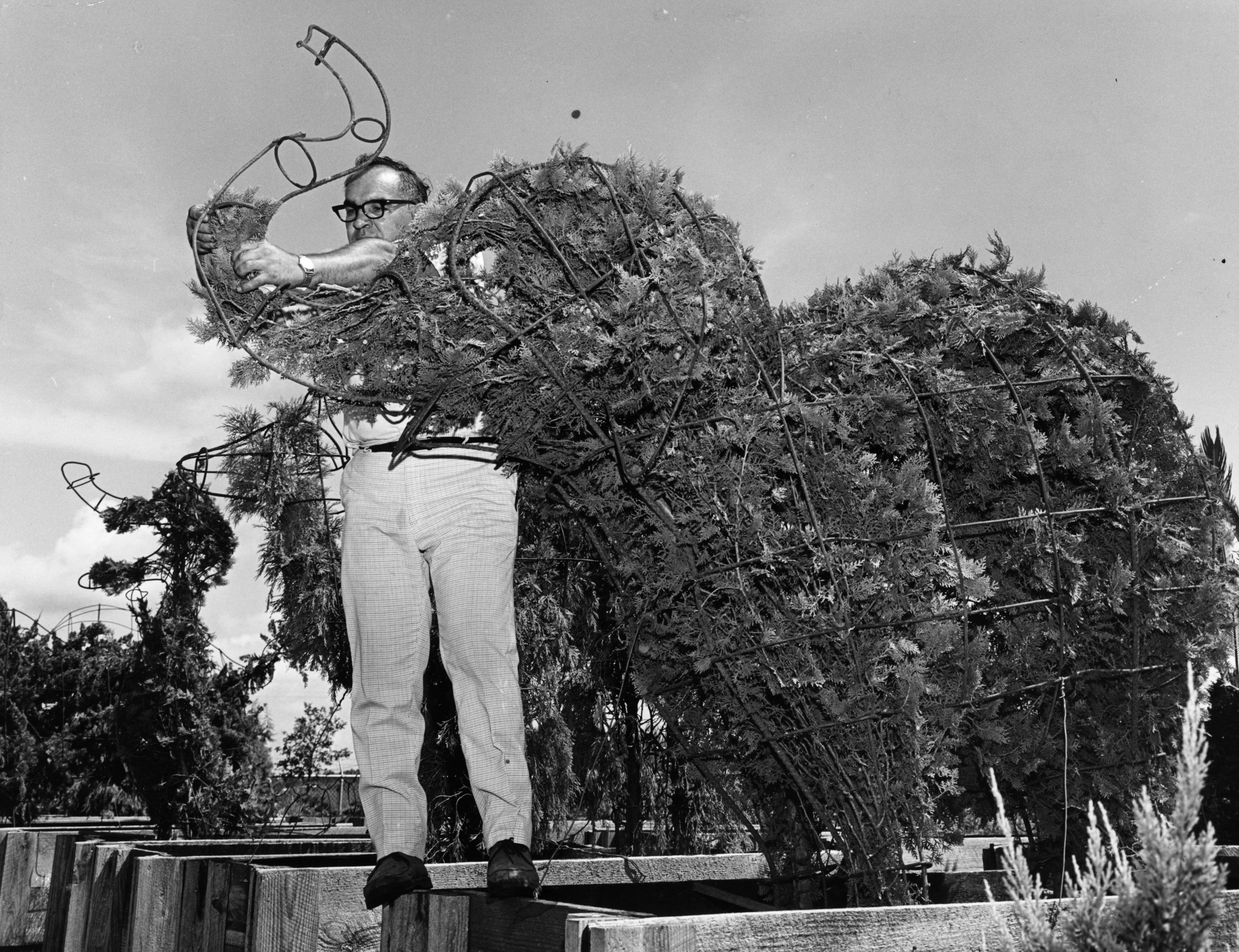 Slide 22 of 33: 31st October 1969:  Landscape artist Charlie Sepulveda creating life size topiary Disney characters for the Walt Disney World entertainment centre in Orlando, Florida  (Photo by Alan Band/Keystone/Getty Images)