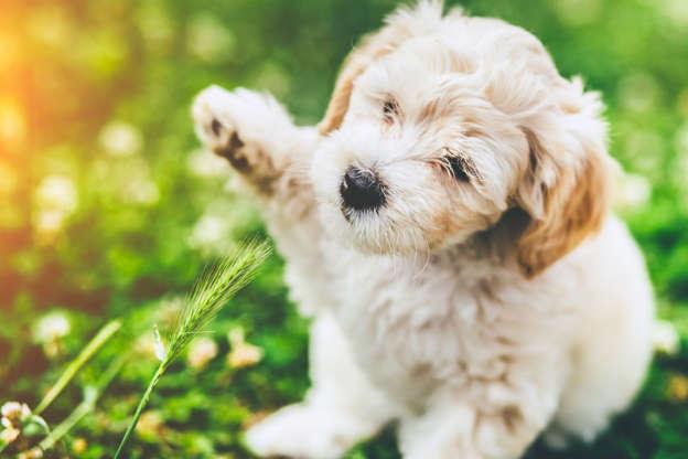 Allergivennlige Hunderaser