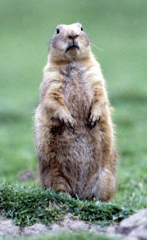 FILE: A woodchuck, but not the guilty one.