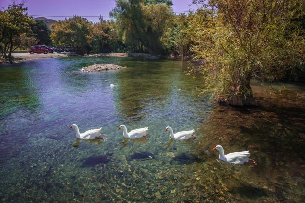 Διαφάνεια 11 από 35: Geese floating in  river on  island of Crete in Greece