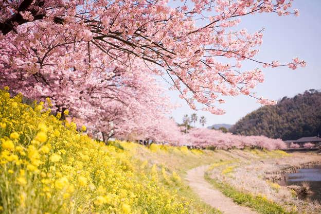 24 枚のスライドの 3 枚目: Shimokamo kawazu cherry blossom