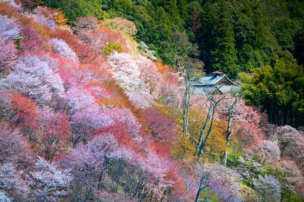 24 枚のスライドの 16 枚目: Yoshino Cherry Trees in Japan