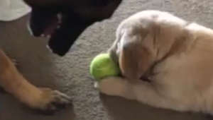 This will make your day! Clever dog tricks puppy into giving up toy