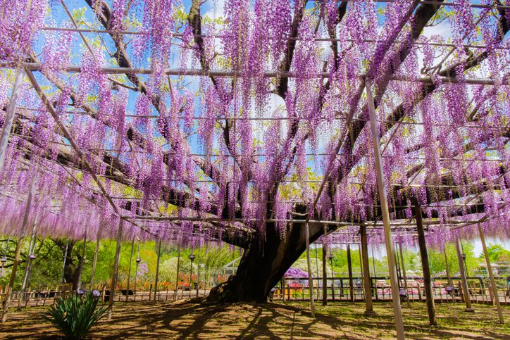 Slide 17 of 23: Spanning 23 acres in the city of Ashikaga in Tochigi Prefecture, Japan, the Ashikaga Flower Park showcases more than 350 wisterias, as well as many other flowers. The park's wisteria tunnels span some 87 yards. Visitors can walk through to enjoy the beauty of the pink, purple, blue, white, and lavender colors of the suspended flowers.The Great Miracle Wisteria steals the show, though. It's a sprawling, 140-year-old wisteria in the middle of the park. Venture outside to continue the spectacle, where you'll find numerous other wisteria displays, including domes, pyramids, arches, and a waterfall.