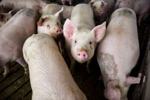 a herd of sheep standing on top of each other: The National Pork Producers Council estimates current plant capacities are creating backlogs of 170,000 hogs a day. (Abigail Dollins/Argus Leader/AP)