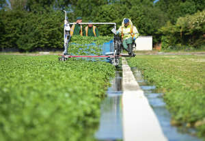 "DORCHESTER, DORSET - JUNE 05: Workers cut the crop of watercress on June 05, 2020 in Waddock Cross, United Kingdom. The Watercress Company in Dorset has overcome difficulties in obtaining seasonal workers as a result of the current pandemic. Seasonal employees from overseas have been unable to work with the company this year due to movement restrictions caused by coronavirus. The watercress grower has recruited a number of workers who had been furloughed or were self-employed. Tom Amery, managing director of The Watercress Company, said: ""We realised quite early on in the lockdown that we were going to have issues with the harvest of watercress and our other salad crops if we didn't quickly source the 25 staff members needed from other backgrounds.""For most it's a complete change from their normal lives, we haven't had to train a fresh group of recruits for years, but I think we are learning a lot from each other."" (Photo by Finnbarr Webster/Getty Images)"