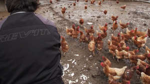 a person standing in front of a crowd: Backyard chickens