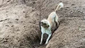 Genius dog digs a trench to play fetch with himself!