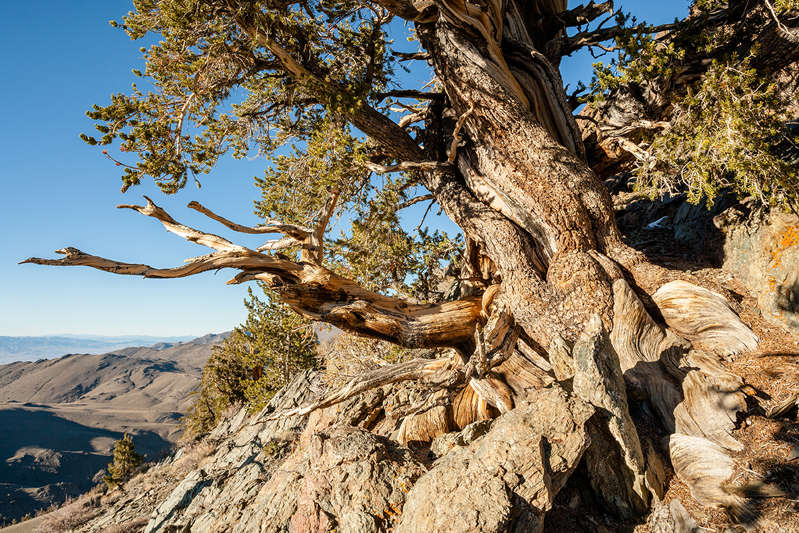 a tree with a mountain in the background: Ancient Bristlecone Pine Forest is home to some of the oldest living things on Earth.