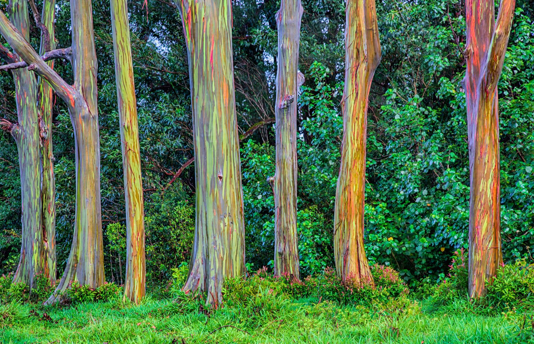 Slide 3 of 27: The lines on the tree trunks show up as the bark sheds off in strips, revealing technicolor hues of orange, green and red below. On top of looking the part, these psychedelic trees smell lovely too. Now check out more amazing images of the world's most colorful natural wonders.