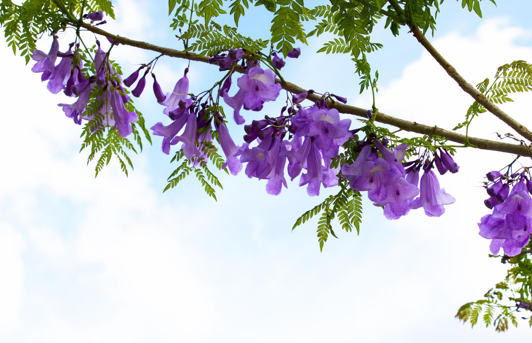 Slide 19 of 27: Though jacarandas have become something of a national symbol in South Africa, they're not actually native to the country. The first trees were brought to South Africa in the 19th century from Brazil. Now discover more of the world's most beautiful natural wonders.