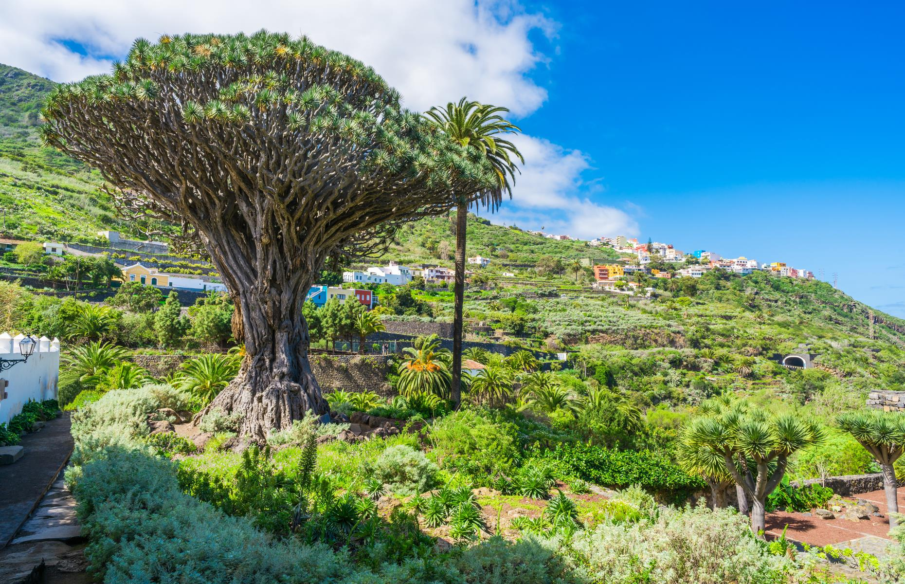 Slide 23 of 27: The island's most celebrated dragon tree – known as the Millennial Dragon Tree (Drago Milenario) – lies in the lush town of Icod de los Vinos in northern Tenerife. It's the largest and oldest tree of its kind, estimated to be around 1,000 years old.