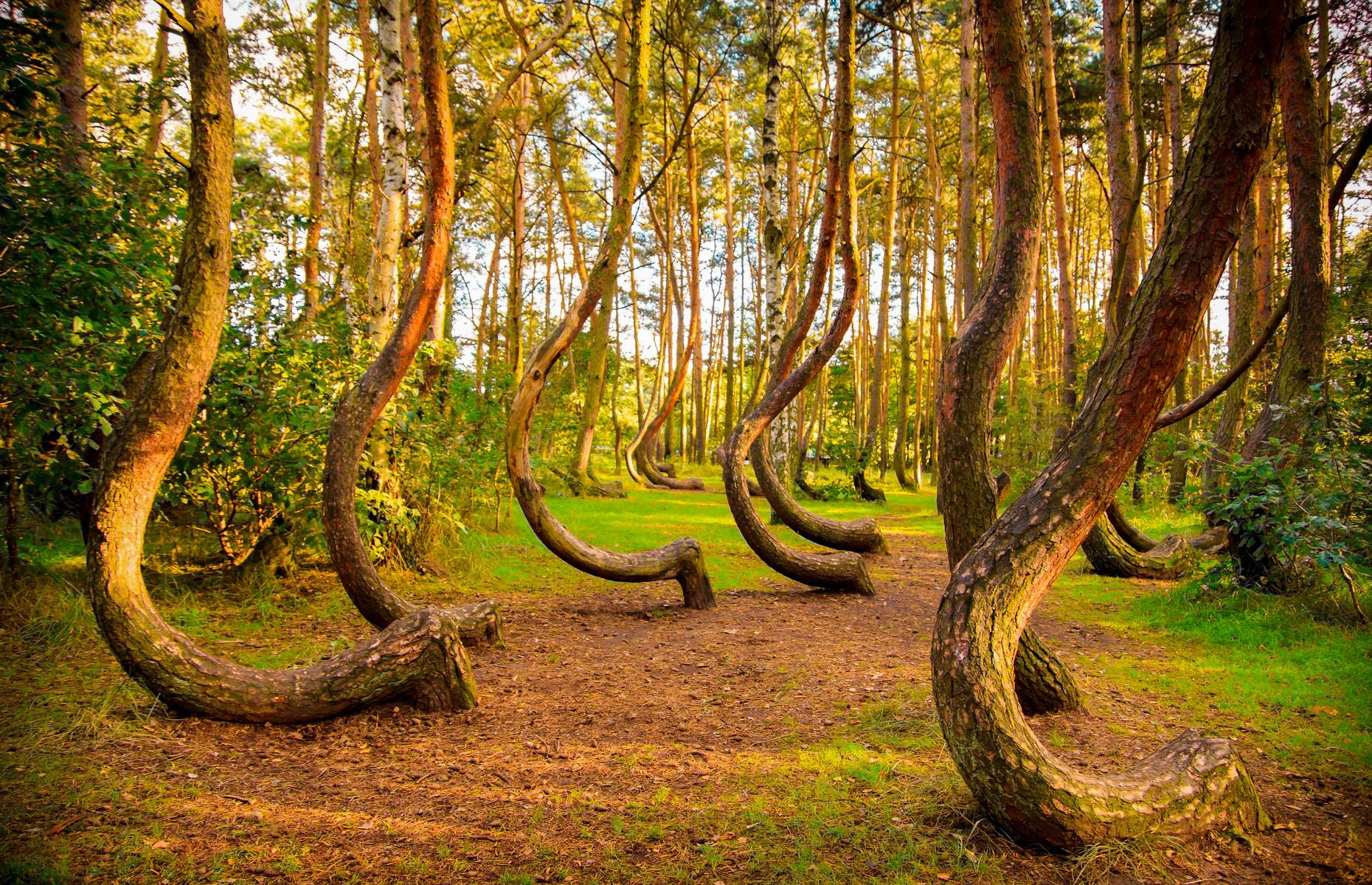 Slide 24 of 27: West Pomerania, one of the greenest regions of Poland, is home to the Crooked Forest, a series of 22 rows of trees, all with curved bases pointing north. The jury is still out as to whether these eerie trees naturally bend or were planted in a way to achieve this effect. One thing's for sure, either way: they look like something straight from another planet.