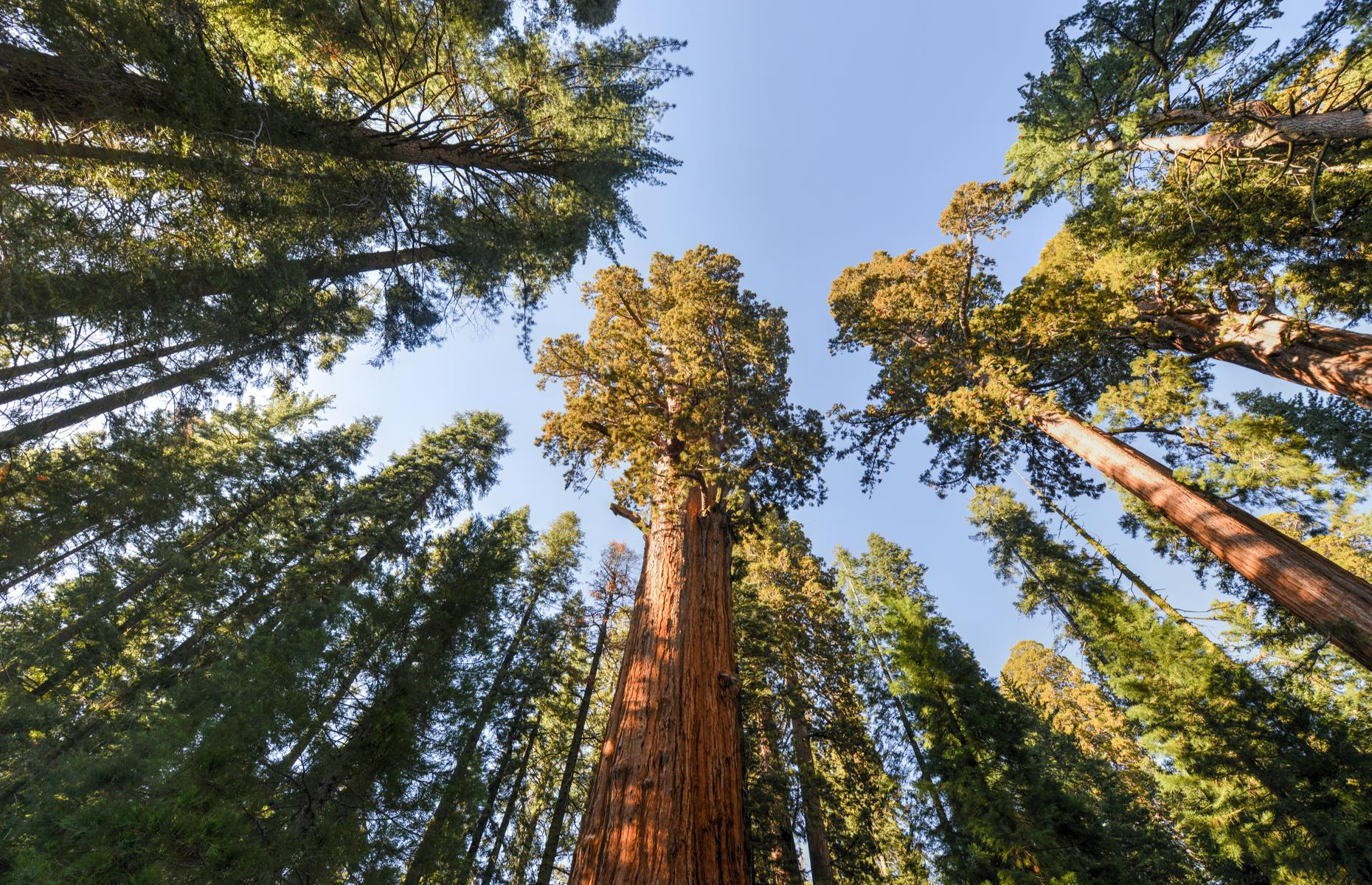 Slide 6 of 27: From one Golden State giant to another – General Sherman, a gargantuan sequoia tree in Sequoia National Park, is located in the aptly named Giant Forest. Trails lead up to the mighty specimen, which (by volume) is the largest known living single-stem tree on Earth.