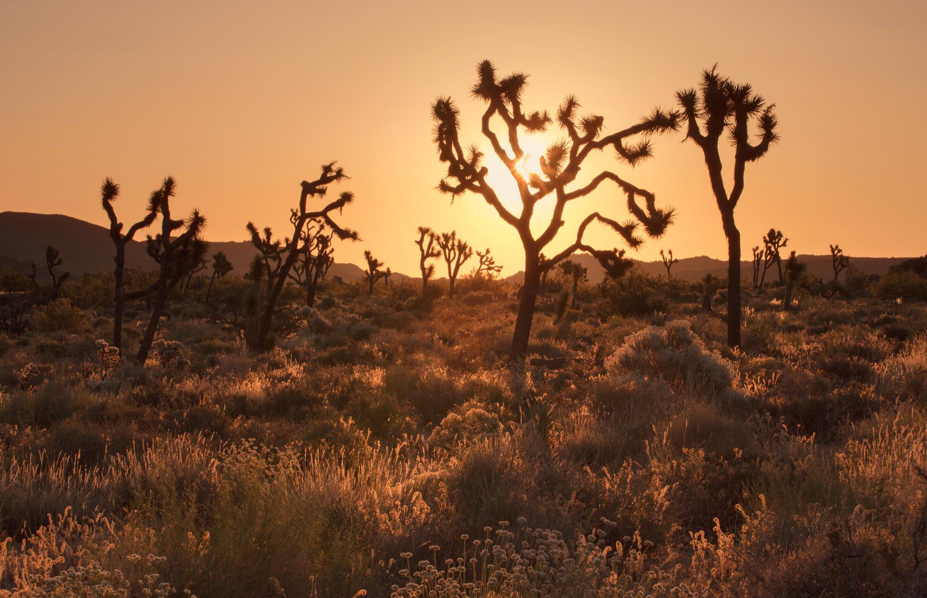 Slide 6 of 37: Many Joshua trees in the national park have already perished, unable to withstand the hotter, drier climate. The saplings with shallow root systems stand little chance of survival now and even some of the mature trees with their deeper root systems have been killed off.