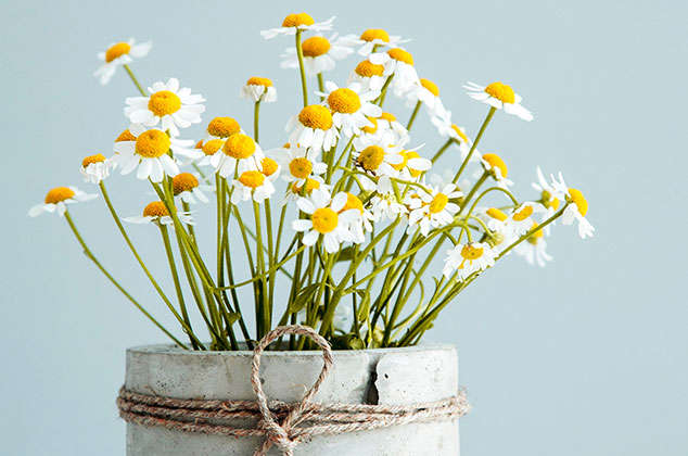 How to grow potted chamomile, organic!