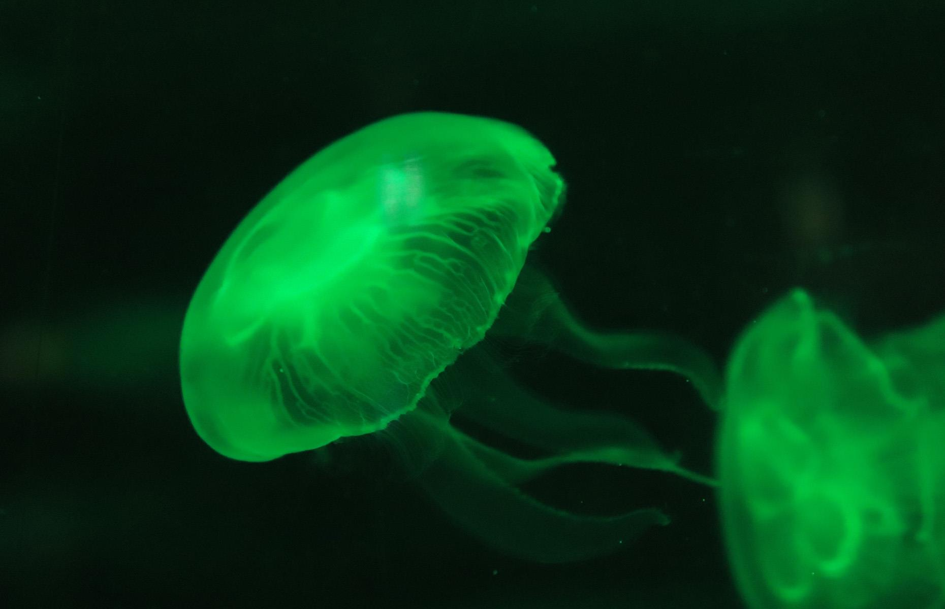 Slide 3 of 44: Curious, alien-like animals – like this luminous jellyfish – thrive in the underwater wilderness, but it's likely we'll never get to see the deepest, darkest parts of the ocean. Instead we can make do with glimpses of the seabed in documentaries by the likes of David Attenborough.