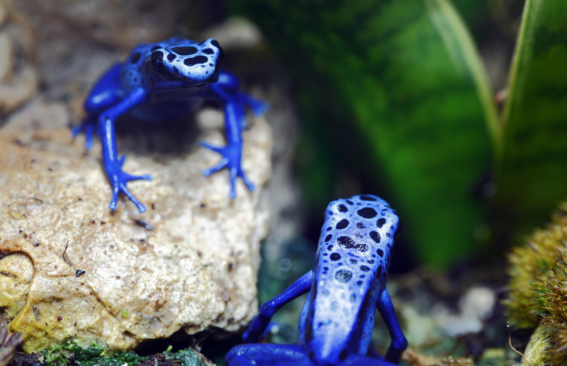Slide 27 of 44: There are communities of Saramacca people and indigenous Surinamese tribes living within the rainforest, but foreigners rarely make it into the thick of it. The locals are incredibly outnumbered by curious creatures instead, including the likes of this blue poison dart frog.