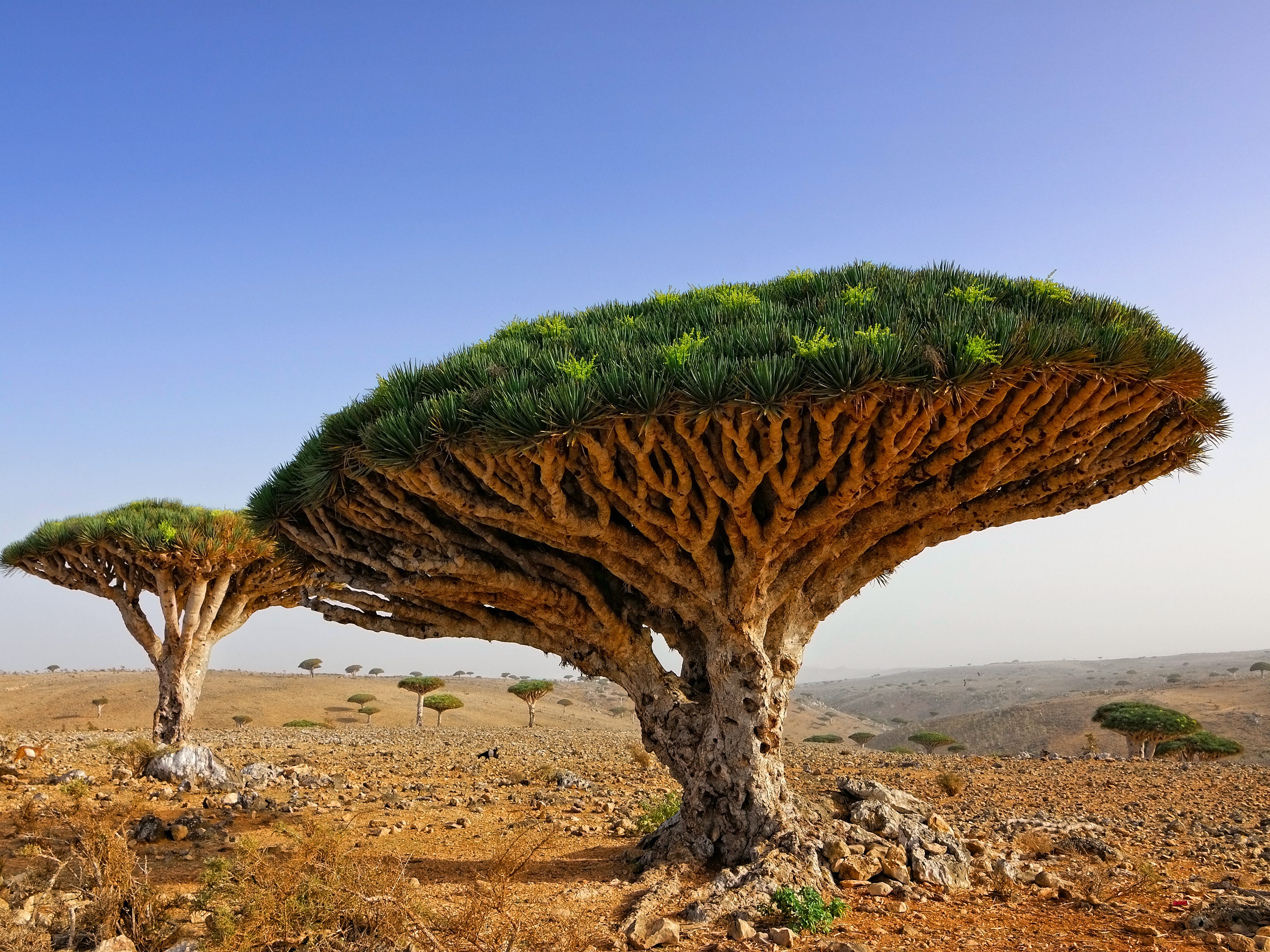 Slide 8 of 51: Located in the Indian Ocean, the island of Socotra has plant life that's found nowhere else on the planet. One of the more notable species is the dragon's blood trees. Their canopies look like flying saucers.