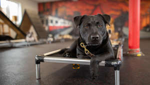 "BOSTON, MASSACHUSETTS, UNITED STATES - MAY 29, 2020: MEET the incredible dogs trained to military standards. Tyler Falconer, 27, of Boston, set up Falco K9 four years ago after serving in the navy. Falco K9 train dogs in obedience, police work as well as personal protection and Tyler uses his experience in the military to all aspects of the dogs' training from puppies to deployment on the street. Tyler, who is also a firefighter, told Barcroft Studios: ""I apply my military background to Falco K9. In a sense of my criteria is a little bit higher than your average company. It's not just a job to me because I know the ramifications if not done properly. We train so there's not any failed deployments out there on the street, whether it be a personal protection dog and/or police dog."" Tyler owns Nala, a four-year-old Belgian Malinois who is trained in protection. Tyler said she is one of the best dogs he has ever trained or owned. Tyler is a trained decoy and loves to suit up at any given opportunity to practise scenario training including car jackings and muggings. Tyler said: ""The feeling inside the suit, it's amazing - you feel like you're really connecting with the dog on that level."" Tyler started Falco K9 from his apartment before progressing to a facility in South Boston and is proud of how far the organisation has come. He said: ""I can't help but think that so many things had to go a specific way and so many things had to go right for me that I definitely don't take it for granted that I'm one of the luckiest men in the world."" PHOTOGRAPH BY Colin Bell / Barcroft Studios / Future Publishing - NOTE: This Photo Can Only Be Used Within Context With The Information Provided In The Metadata (Photo credit should read Colin Bell/Barcroft Media via Getty Images)"