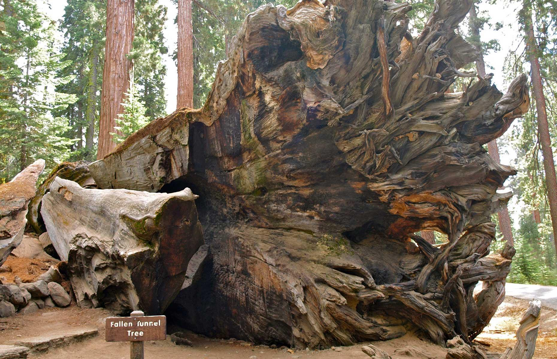 Slide 9 of 31: The tree had been standing for around 2,300 years when it finally toppled in 1969. Experts put the event down to natural factors including heavy snowfall and damp soil – their effects were exacerbated by the man-made tunnel which weakened the tree's trunk. The fallen tree is still marked with a sign. It's pictured here in 2012.
